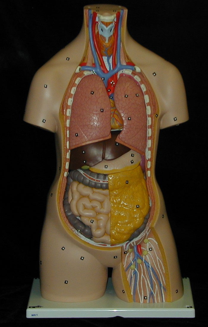medical-3b-scientific-torso-scan-2